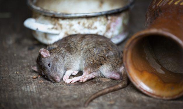 Lutter contre les rats, un combat pour la santé publique