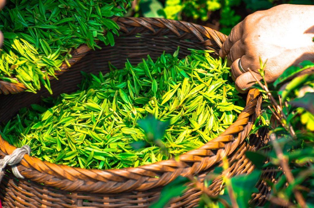 Thé vert fraichement ramassé