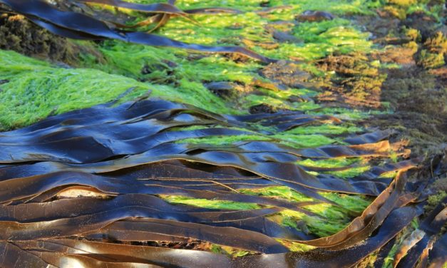 Algues comestibles : les bienfaits des algues alimentaires