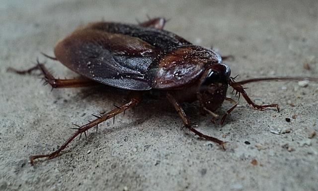Une blatte a l'intérieur d'une maison